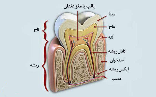 آناتومی دندان در مستر ایمپلنت